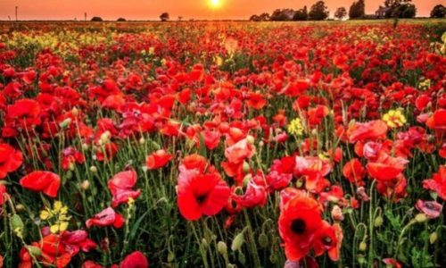 small poppy syndrome